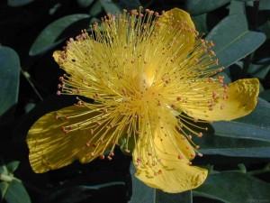 Científicos identifican el gen que da olor a las flores