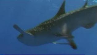 Por primera vez filman a un tiburón defecando