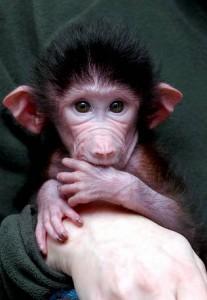Muki el pequeño babuino rechazado por su madre
