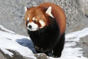 El hermoso Panda Rojo