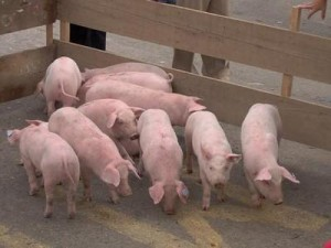 Nivel de alerta 5 inminente pandemia por Influenza Porcina