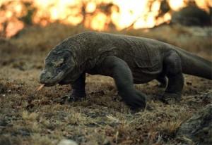 El Dragón de Komodo tiene un potente veneno