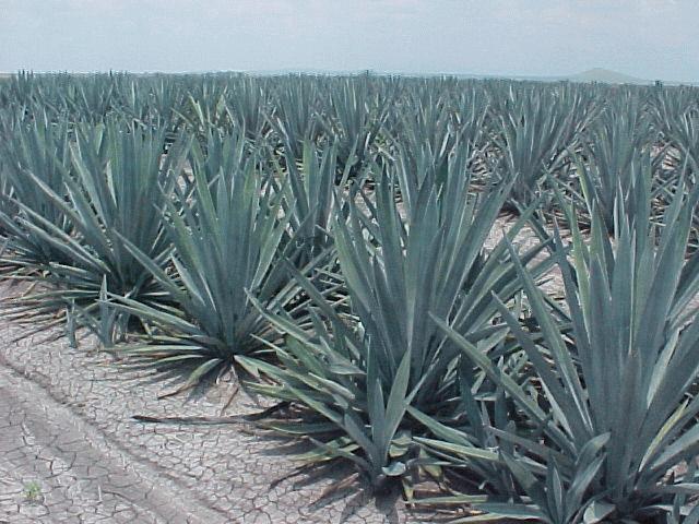 Científica mexicana crea el Olfatómetro para detectar el auténtico Tequila