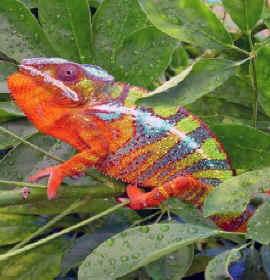 Los fantásticos cambios de color del camaleón
