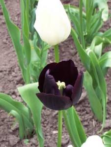 """""""Flores Negras"""" Poemas"""