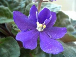 """""""La violeta"""" Poemas"""