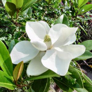 """""""La magnolia"""" Poemas"""