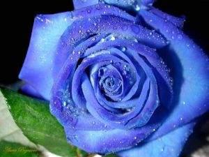 La rosa azul significa amor imposible