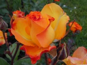 Más de 200 imágenes de rosas