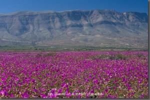 La belleza del Desierto Florido