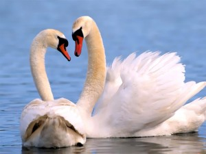 """""""Los cisnes"""" - Poemas"""