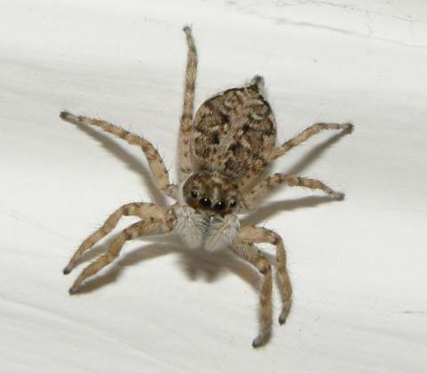 Araña-Familia-Salticidae-araña saltarina