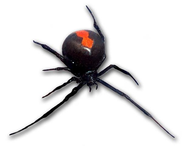 araña espalda roja.wikipedia