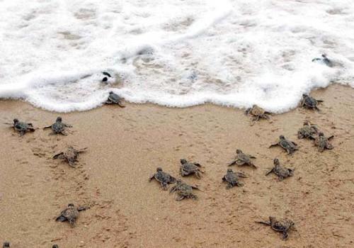 tortugas. mar